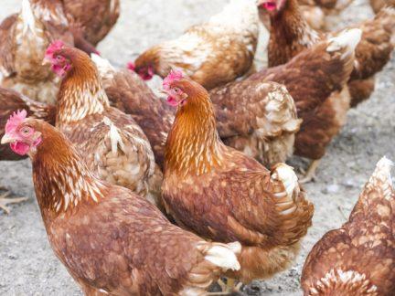 有精卵は通常卵より栄養価が高いというのは完全な思い込み